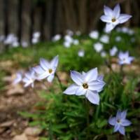 薄紫の星形の花・ハナニラ が春草の中で咲いていました