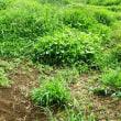 朝から、雑草との戦い