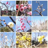 青葉の森の梅の状況です。紅梅、白梅、蝋梅が咲いています。寒いけど花は咲きます。