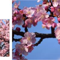 ≪河津桜≫
