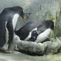 ジェンツーペンギンのタマゴ、見えました