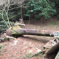 倒木の枝切りをしました
