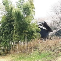恵那の上矢作・新田の桜 今年も堂々としていました