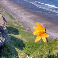 北海道の海岸にハマナスの花が咲く頃になりました...