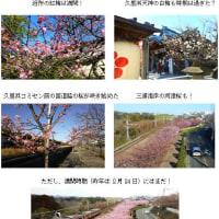 久里浜では梅は満開、桜も咲きはじめた!(H29.2.4)
