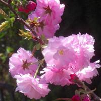 庭の八重桜