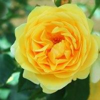 京王アンジェのバラから