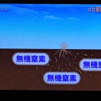 4/23 根は微生物で分解され、自然の肥料 有機窒素になる