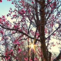「朝の光りに咲く」 いわき 新川の桜並木にて撮影! チョウベイザクラ