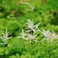 白い花々(赤塚植物園)