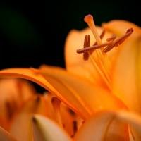 2017 筥崎花庭園のユリ (甘いユリの香りに誘われて) 《福岡市東区筥崎》