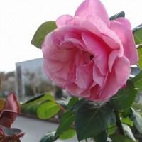 今週末は秋まつり バラもお出迎え