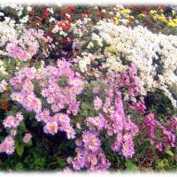 一年の最後に咲く花「菊(キク)」(^^♪後鳥羽上皇が好み、菊紋を天皇家の家紋に…