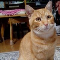 決まりました。とっても甘えん坊な茶トラくん。千葉県白井市猫里親募集。No.45