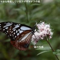 アサギマダラ、サツマニシキ、コバノセンナ(花)