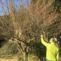 1月7日 活動報告3 モウソウチク、ウメ、アオギリ