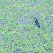 ヒシの沼にチョウトンボ