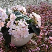 匂い桜 咲く