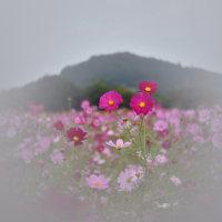 大和三山とコスモス。  藤原京跡のコスモスが見頃。大和三山の眺望も良いですね‼️