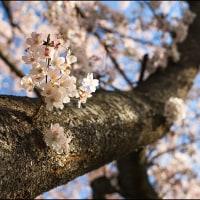 雨と桜とラジコンカー
