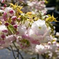五ケ所の牡丹桜 (南伊勢町)