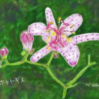 長く咲いてくれるホトトギスの花
