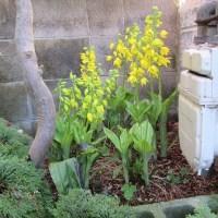 やっと、開花:黄エビネ
