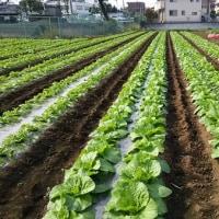 白菜、大根、レタスの防除