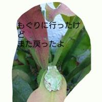 つぶやきカエル…11…12