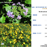 KTWRフレンドシップラジオ Eベリ アジサイとキンシバイの花