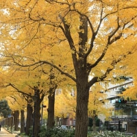 横浜の銀杏並木