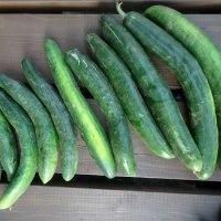6月は夏野菜の収穫ラッシュ