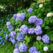 桧と紫陽花