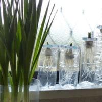 ペットボトルで水栽培