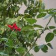 赤い花♪  久しぶりの雨