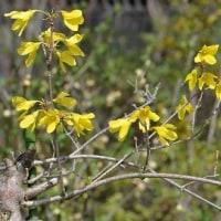 早春の黄色い花木(4)~鉢植えの 枝垂れレンギョウ
