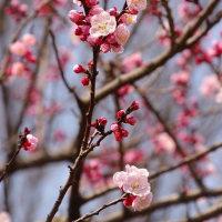 アンズの花 オウトウの花