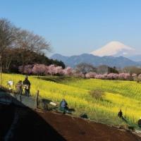 篠窪(しのくぼ)の「春めき桜と菜の花と富士山の共演」 2017/3/22
