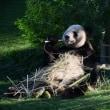 上野のパンダ 伸び伸び育って