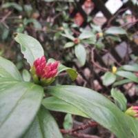 沈丁花の蕾