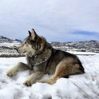 野性オオカミ「ECHO」