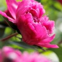 夏の花1)芍薬