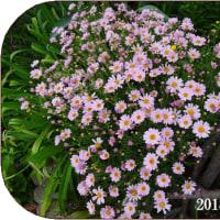 小さな花<今朝の庭9/29>