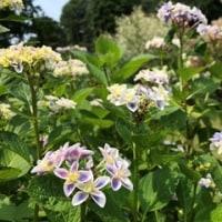 太閤山の 紫陽花