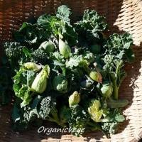 冬のプチシリーズ 花野菜です