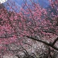 奥三河 新城川売(かおれ)梅の里 ④