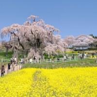 三春の滝桜へ行って来ました。