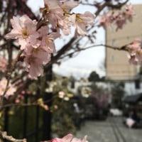春の兆し・・・&今月末のヨガレッスン