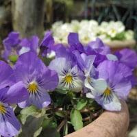 春の庭と、今日のご質問と。