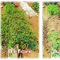 落花生の 収穫 -1